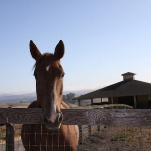 horse-for-sale